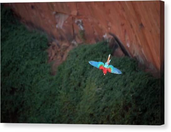 Green-winged Macaw In Flight Ara Canvas Print by Sean Caffrey