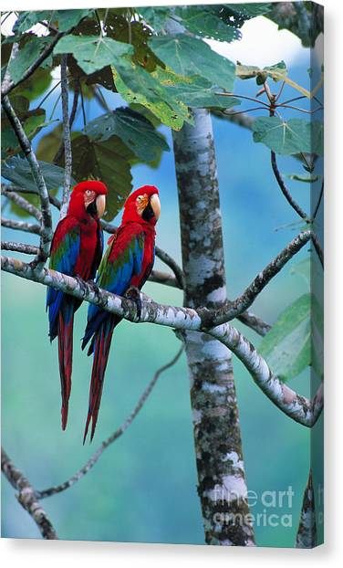 Amazon River Canvas Print - Green-winged Macaws by Art Wolfe