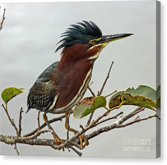 Audubon's Green Heron Canvas Print