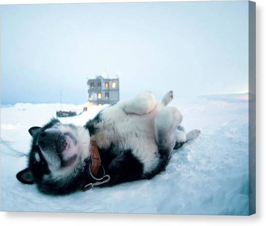Special Forces Canvas Print - Greenland Dog by Louise Murray/science Photo Library