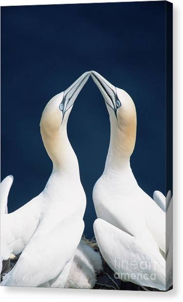 Newfoundland And Labrador Canvas Print - Greeting Gannets Canada by Yva Momatiuk John Eastcott