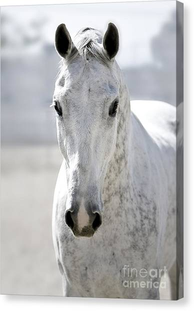 Thoroughbreds Canvas Print - Grey Ghost by Holly Martin