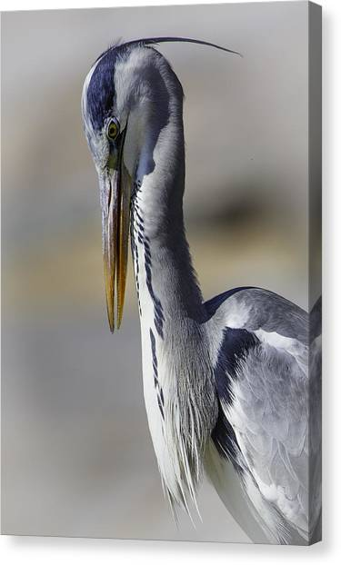 Grey Heron Profile With Soft Background Canvas Print by Wild Artistic