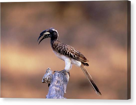 Hornbill Canvas Print - Grey Hornbill by Tony Camacho/science Photo Library