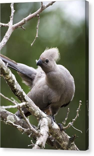 Grey Lourie/goaway Bird Canvas Print by Sean McSweeney