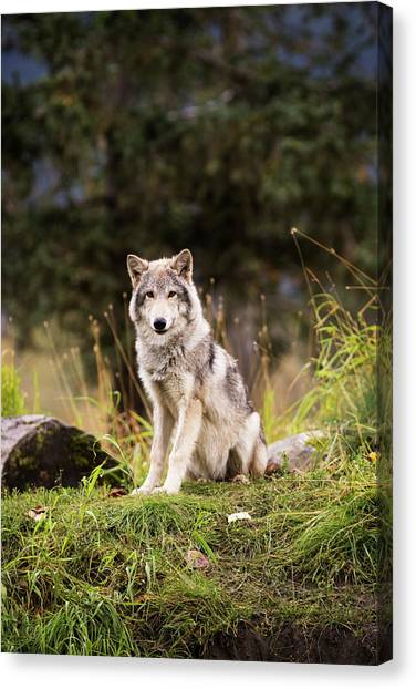 Huskies Canvas Print - Grey Wolf  Canis Lupus  Pup Roams It S by Doug Lindstrand