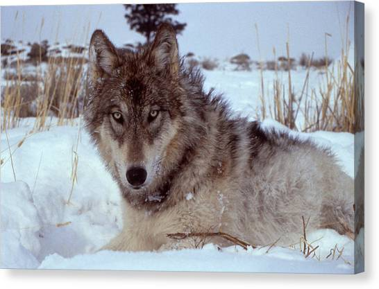 Grey Wolf In Montana Snow Canvas Print by Bob Semk