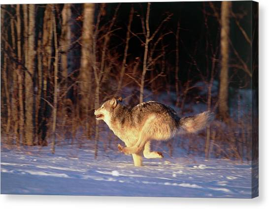 Grey Wolf Running Canvas Print by William Ervin/science Photo Library