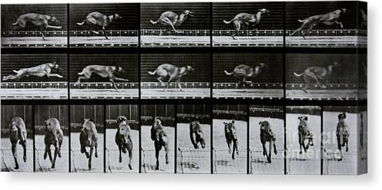 Sprint Canvas Print - Greyhound Running by Eadweard Muybridge