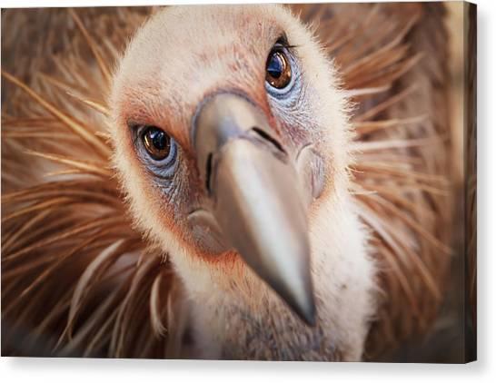 Griffon Vulture Gyps Fulvus Canvas Print