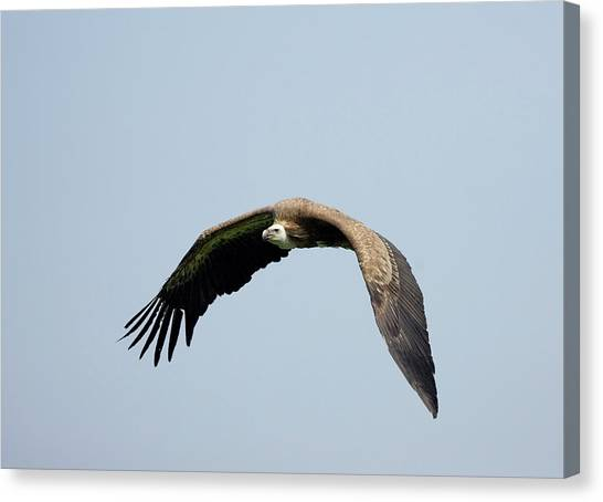 Griffons Canvas Print - Griffon Vulture In Flight by John Devries/science Photo Library