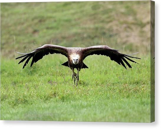 Griffons Canvas Print - Griffon Vulture Landing by John Devries/science Photo Library