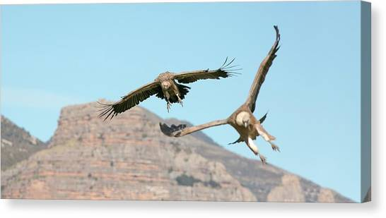 Griffon Canvas Print - Griffon Vultures Flying by Nicolas Reusens