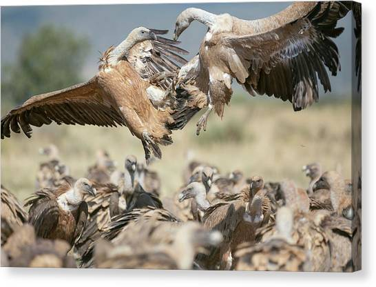 Vultures Canvas Print - Griffon Vultures by Nicolas Reusens