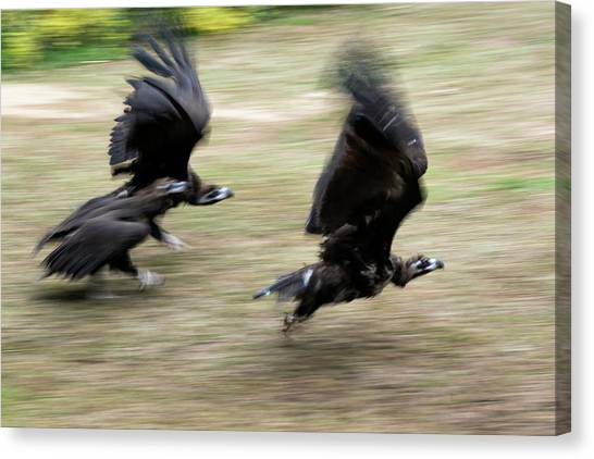Vultures Canvas Print - Griffon Vultures Taking Off by Pan Xunbin