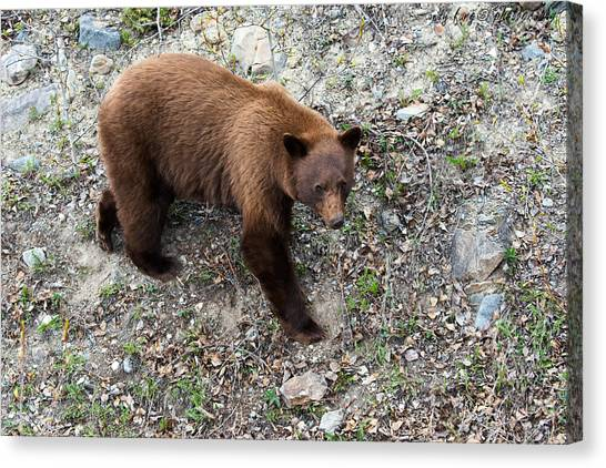 Grizzly Bear 1 Canvas Print by Andy Fung