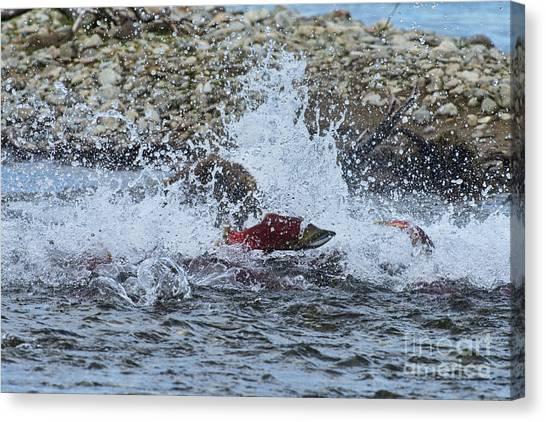 Brown Bear Chasing Salmon While Salmon Jump To Escape Canvas Print by Dan Friend
