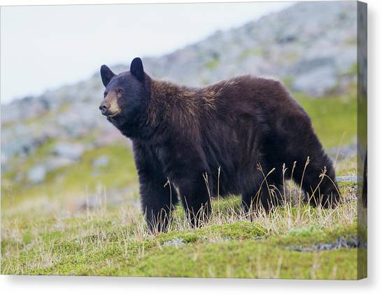 Black Bears Canvas Print - Grizzly Colored Black Bear by Ken Archer