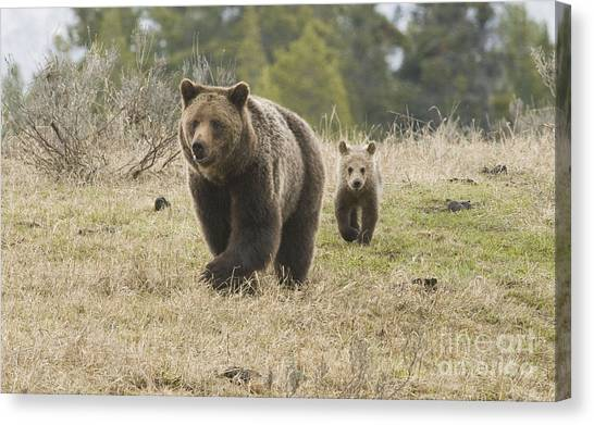 Grizzly Family At Fishing Bridge Canvas Print by Bob Dowling