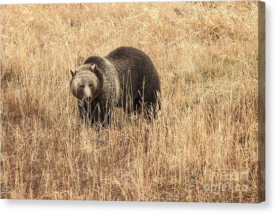 Grizzly In Autumn Meadow Canvas Print by Bob Dowling