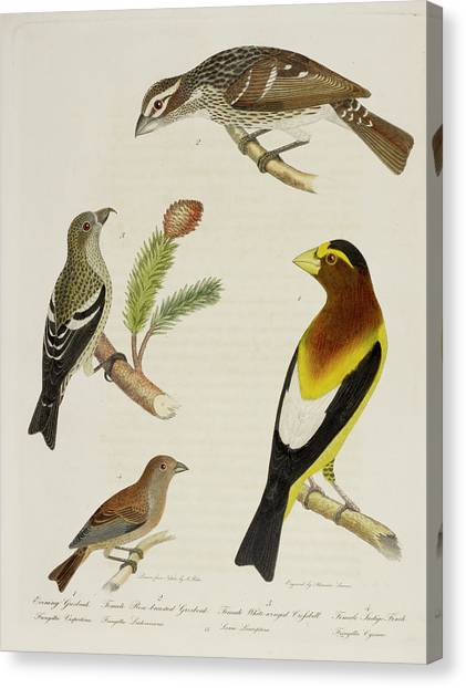 Crossbills Canvas Print - Grosbeak And Crossbill by British Library