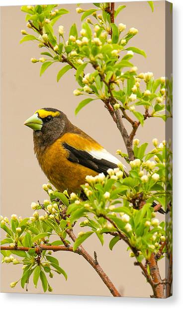 Grosbeak Canvas Print