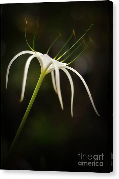 White Spider Flower Canvas Print