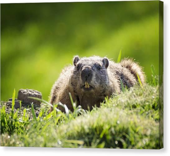 Groundhogs Canvas Print - Groundhog Day by Vicki Jauron