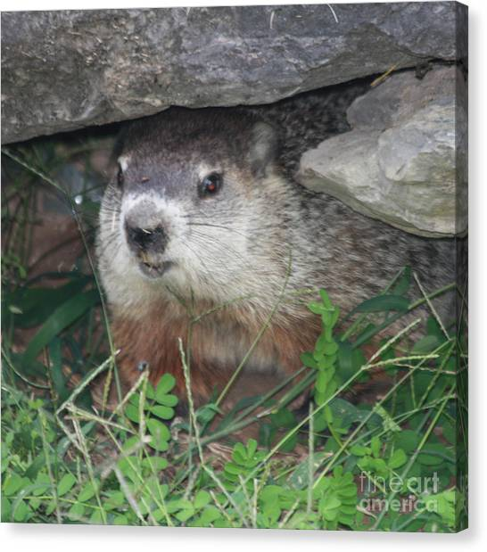 Groundhogs Canvas Print - Groundhog Hiding In His Cave by John Telfer