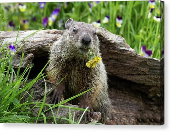 Groundhogs Canvas Print - Groundhog  Kit Marmota Monax by Debbie Dicarlo