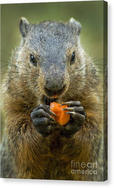 Groundhog Canvas Print - Groundhogs Favorite Snack by Paul W Faust -  Impressions of Light