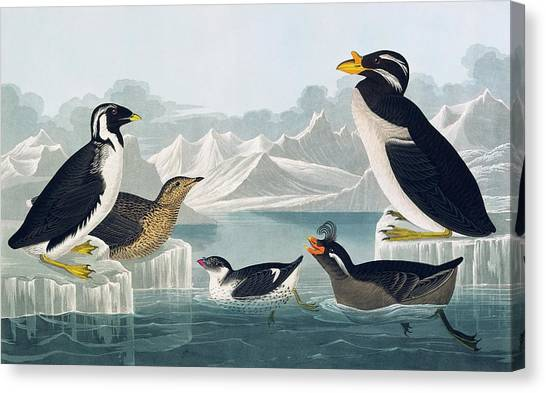 Auklets Canvas Print - Group Of Auks And Auklets by Natural History Museum, London/science Photo Library