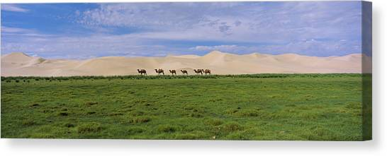 Gobi Canvas Print - Group Of Camels On A Grass Field by Animal Images