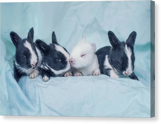 Group Of Four Newborn Baby Bunnies Canvas Print by Ashraful Arefin Photography