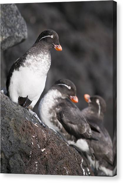 Auklets Canvas Print - Group Of Parakeet Auklets, St. Paul by John Gibbens