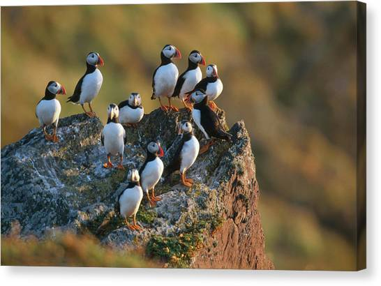 Group Of Puffins Fratercula Arctica Canvas Print