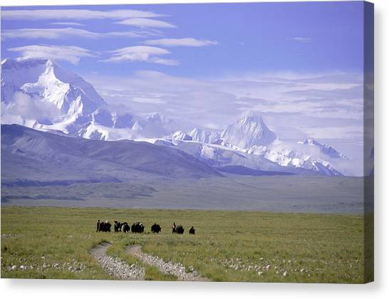 Yak Canvas Print - Group Of Yaks Walk Across A Green by Beth Wald