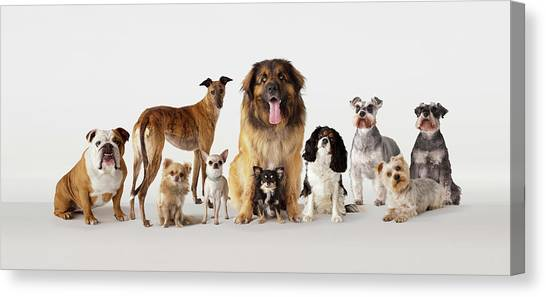 Group Portrait Of Dogs Canvas Print by Compassionate Eye Foundation/david Leahy
