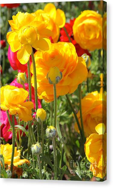 Growth Of A Ranunculus Canvas Print
