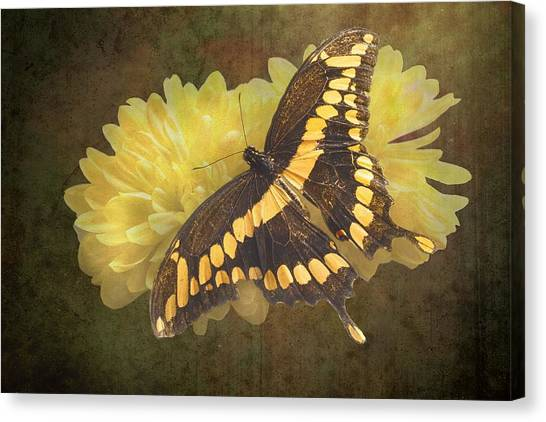 Grunge Giant Swallowtail-1 Canvas Print