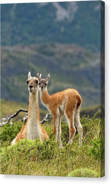 Llamas Canvas Print - Guanaco And Baby (lama Guanaco by Adam Jones