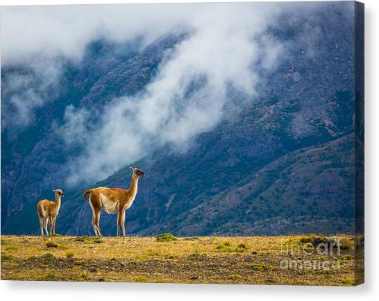 Lama Canvas Print - Guanaco Mother And Child by Inge Johnsson