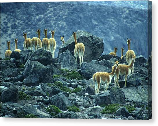Cotopaxi Canvas Print - Guanacos Near Cotopaxi Volcano by Per-Andre Hoffmann