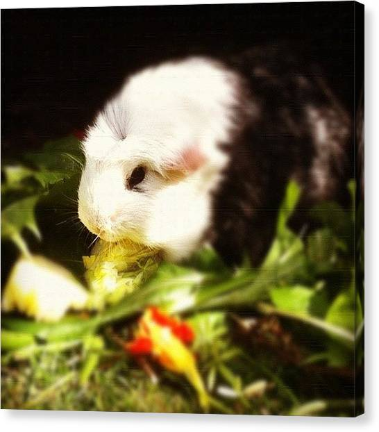 Small Mammals Canvas Print - Guinea Pig 'po' by Hannah Bould MRCVS