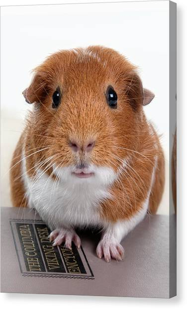 Guinea Pig Talent Canvas Print