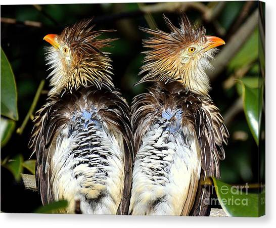 Guira Cuckoos Canvas Print