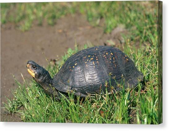 Box Turtles Canvas Print - Gulf Coast Box Turtle by Karl H. Switak