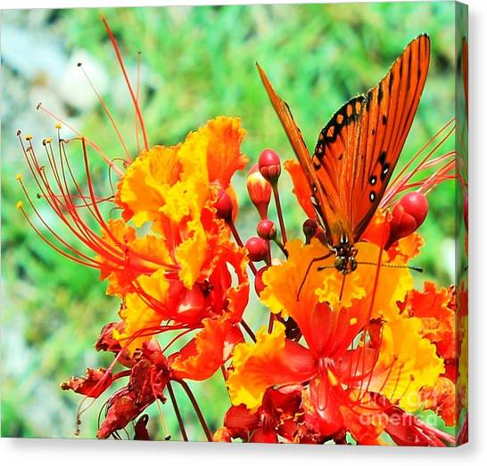 Gulf Fritillary Butterfly On Pride Of Barbados Canvas Print