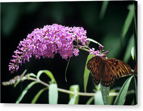 Gulf Fritillary Butterfly Canvas Print by Sally Mccrae Kuyper/science Photo Library