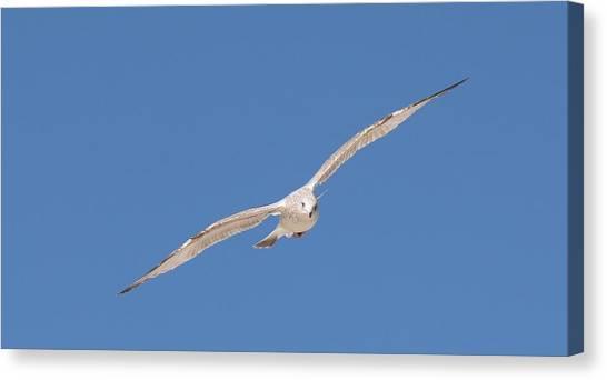 Gull In Flight - 2 Canvas Print
